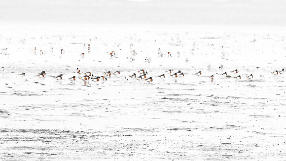 Double Exposed at the Mudflats (Common Shelduck)