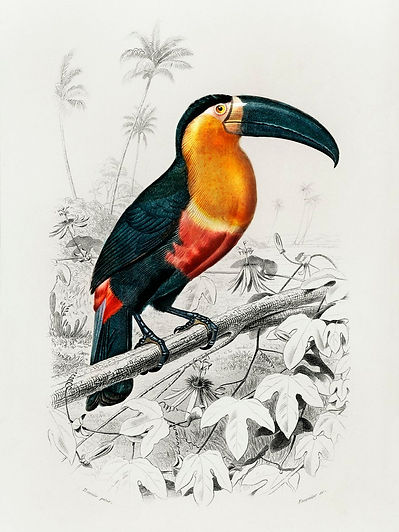 Vintage Toucan.jpg