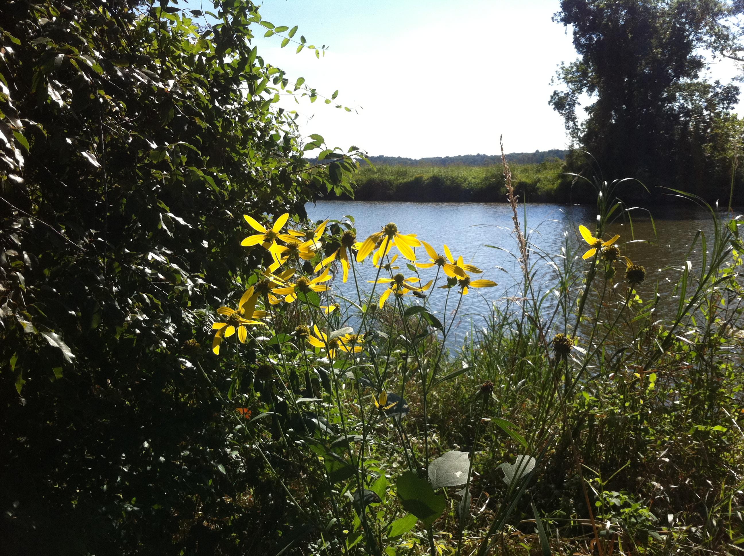 Black Eyed Susan's along the Little Elk Creek