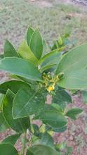 Lilly the Lemon Tree
