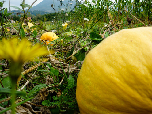 Pumpkins and weeds
