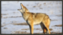 Footer_Coyote.png