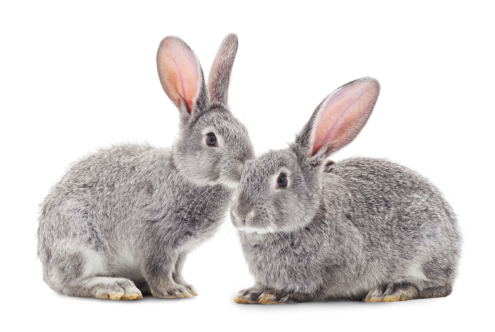 Rabbit Hemorrhagic Disease Virus Type 2 (RHDV2)