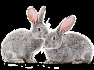 Experimentos médicos con conejos de laboratorio