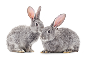 Rabbit Hemorrhagic Disease Virus Type 2 (RHDV2)