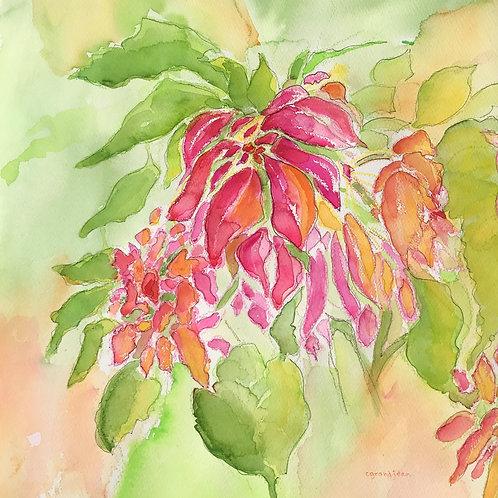 Oahu Poinsettia