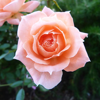 The English Rose-perfection