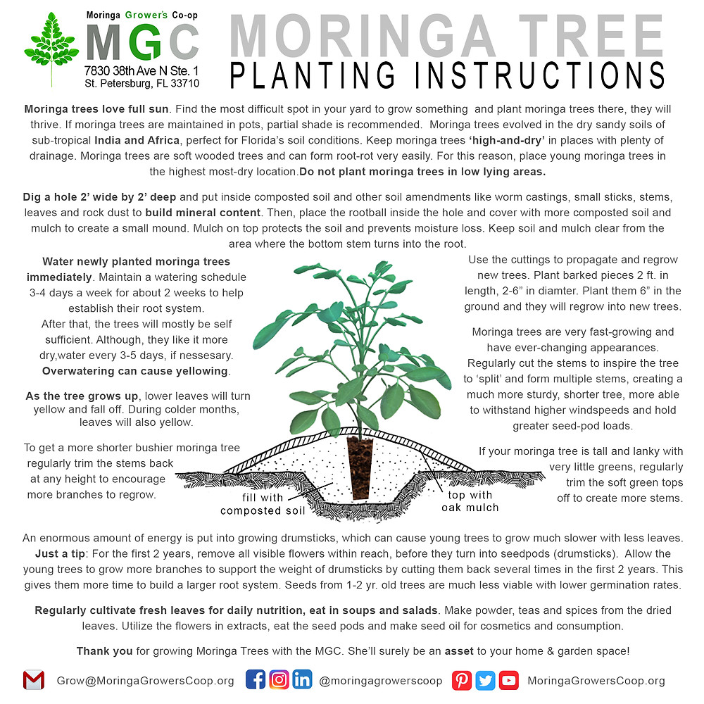 Learn how to grow moringa trees