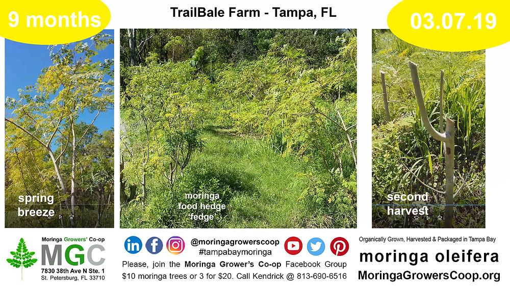 1 year later growing moringa trees