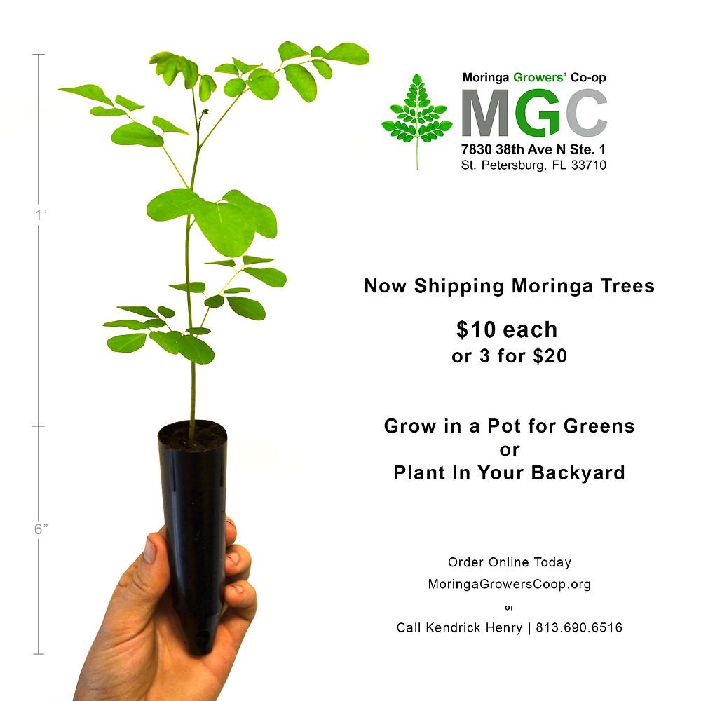 Order Moringa Trees Online
