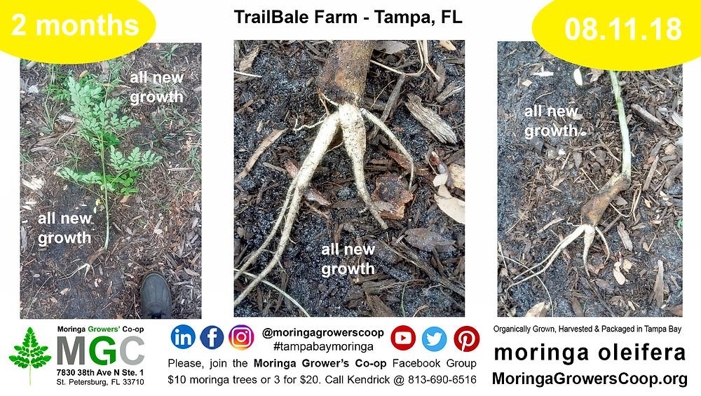 Moringa roots are delicacy. Moringa Root Tubers. Horseradish Tree