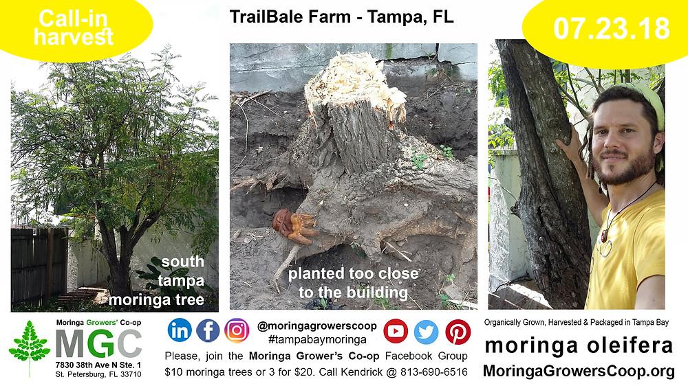Make soil using moringa stumps, Hugel Culture