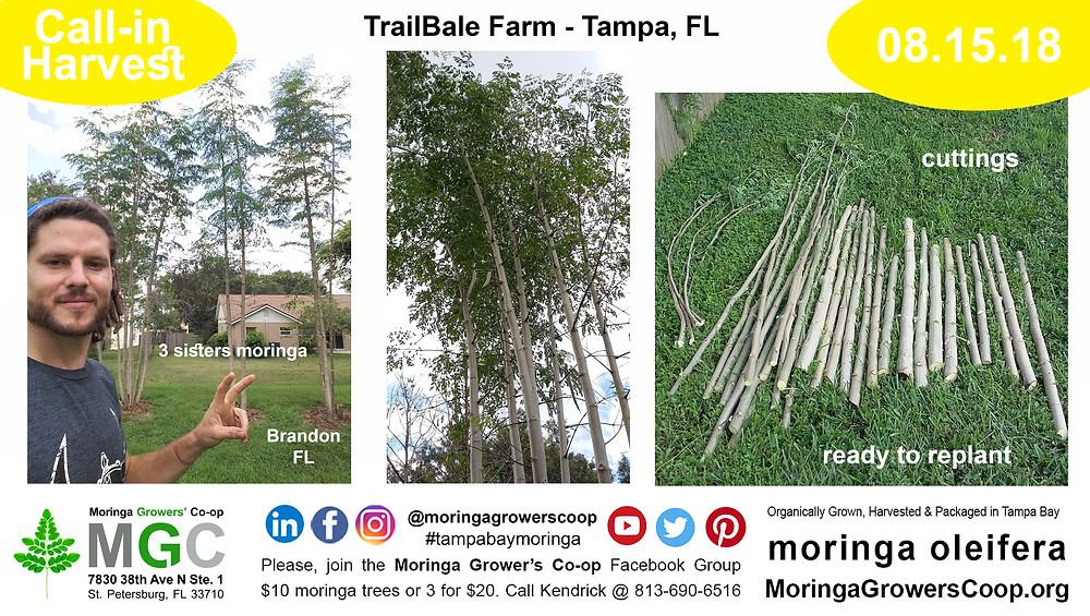 moringa Trees Grow Fast in Tampa