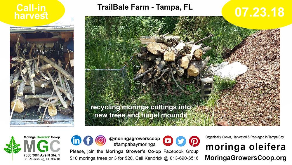Making soil from moringa trees stumps