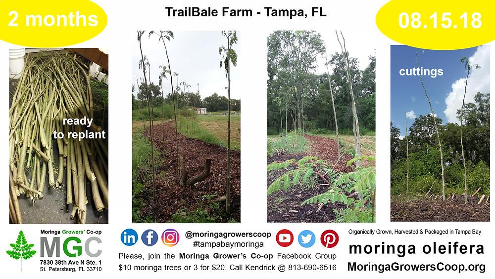 Moringa Tree Farming