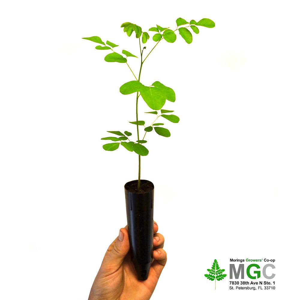 MGC Moringa Seedlings