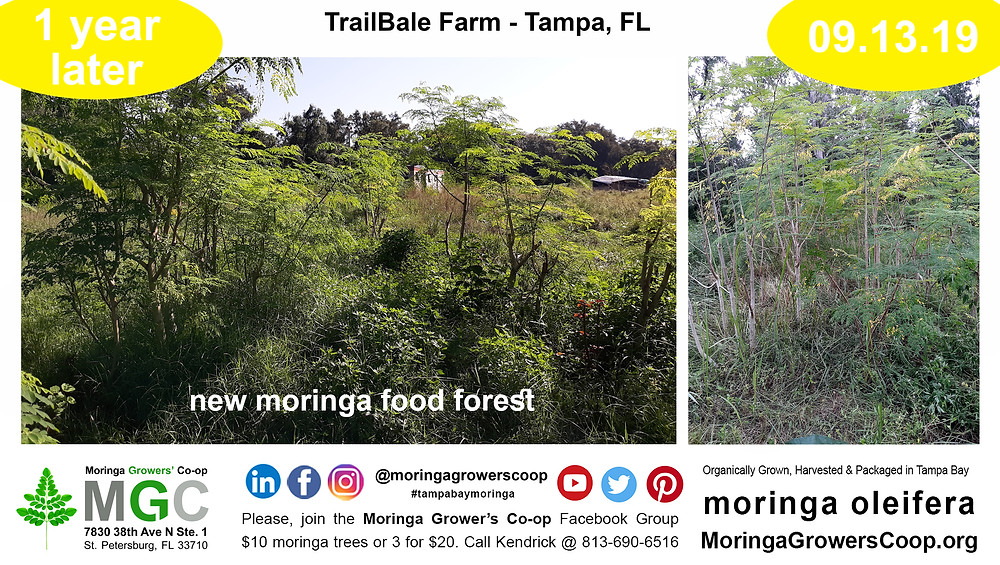Moringa Trees Food Forest