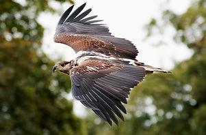 african-fishing-eagle-1641752_1920.jpg