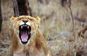 lion chobe.jpg