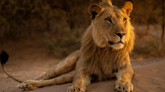 """Bushtracks Africa attends """"Vanishing Kings II - Desert Lion Legacy"""" Premier"""