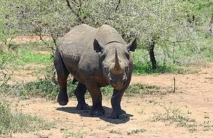 black-rhinoceros-412667_1920.jpg