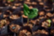 Croton seedling at TreeEco nursery .jpg