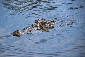 thumb_crocodile RS2_1024.jpg