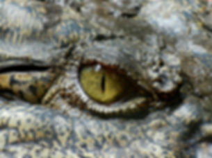 crocodile-630233_1920.jpg