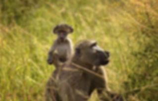 baboon-2798928.jpg