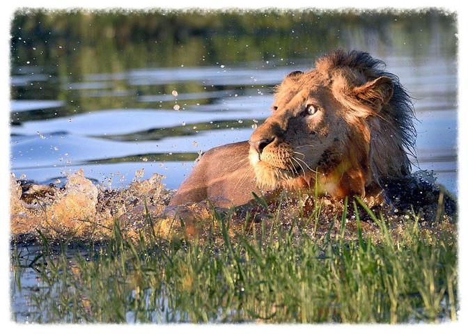Wide-eyed Lion Flees