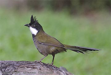 eastern whipbird.png