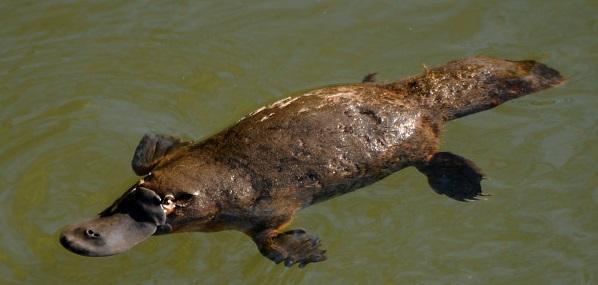 duck-billed-platypus.jpg