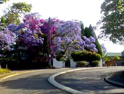 Jacaranda & Bougainvillea