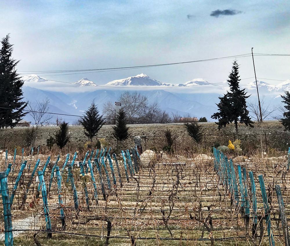 Le conservatoire des cépages. Au fond, la chaîne du Caucase... © Fabrice Roy