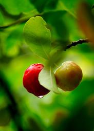 Acerola_Flora Brasilis (2).jpg