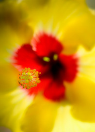 Hibiscus_Flora Brasilis (8).jpg
