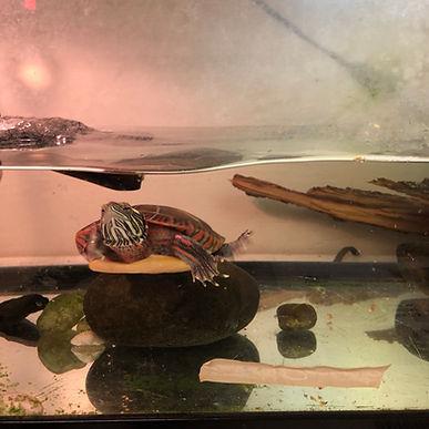 OSG Turtle.jpg