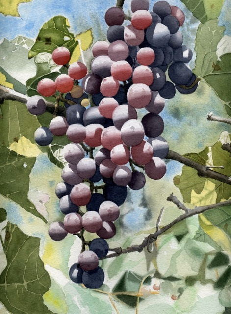 Grapes of mild