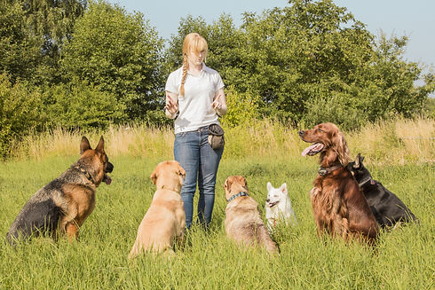 A group of dogs listen to the commands o