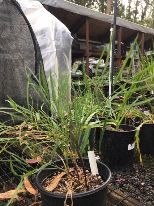 Kellogg's Yampah (Perideridia kelloggii) 1 gallon potted plant