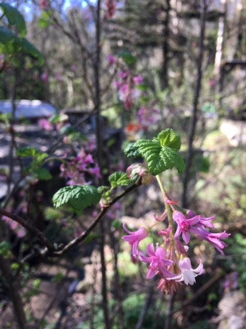 Pink Flowering Currant (Ribes sanguineum var. glutinosum) 1 gallon potted plant