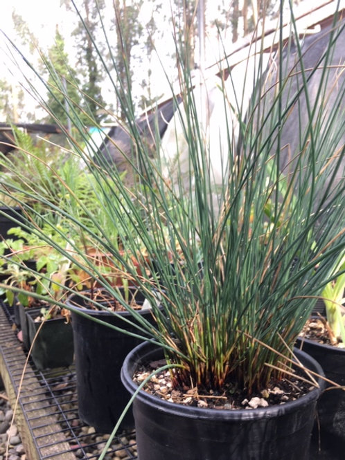 "Blue Rush (Juncus patens) 6"" potted plants"