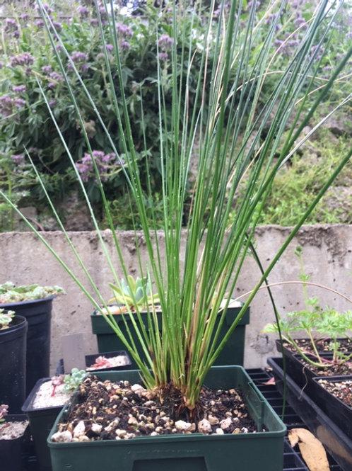 """Common Rush (Juncus effusus) 6"""" potted plant"""