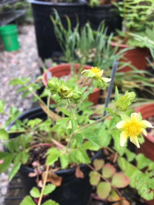 California horkelia (Horkelia californica) 1 gallon potted plant