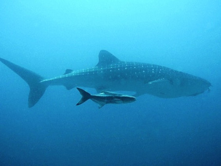 A WHALE SHARK!? In Singapore? No way!