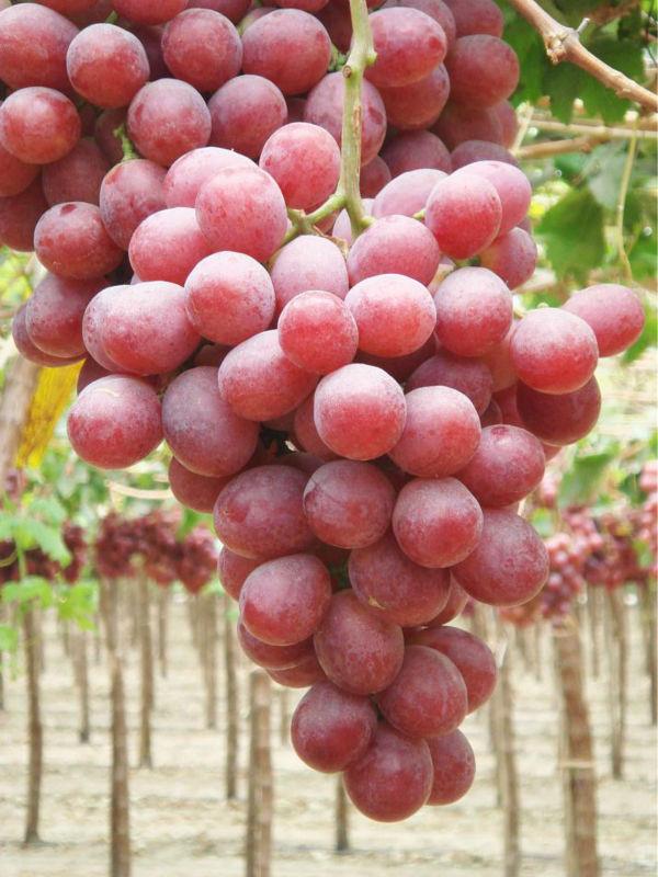 Red_Globe_Grape