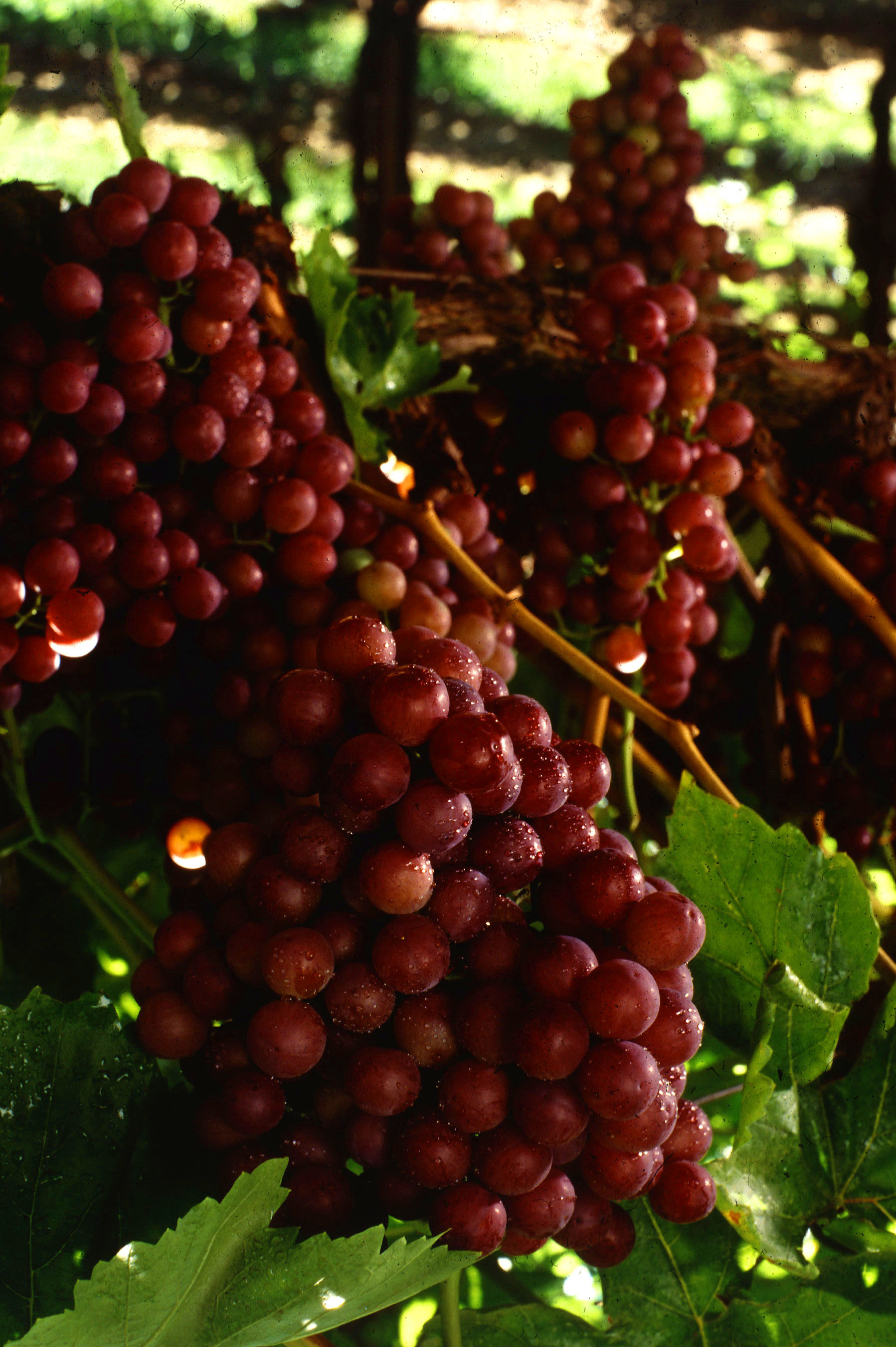 Flame_seedless_grapes
