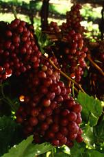 Flame_seedless_grapes.jpg