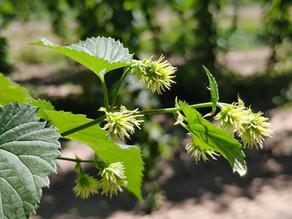 Cascade Bloom 2.jpg