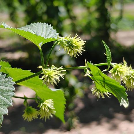 Cascade Bloom 2